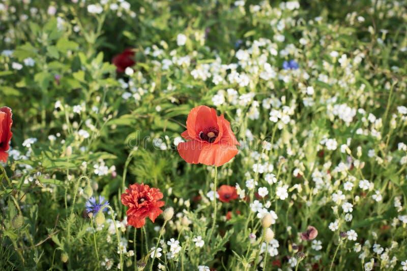 Fotografia del fiore del papavero fotografia stock
