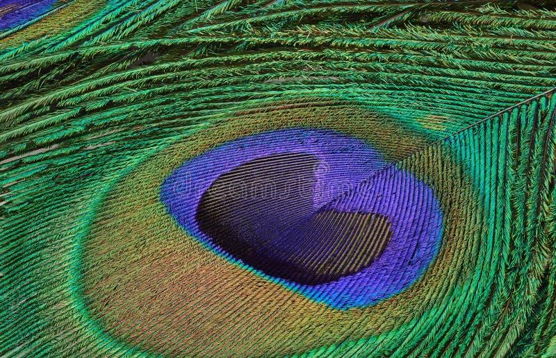 Fotografia del primo piano della piuma del pavone immagini stock libere da diritti