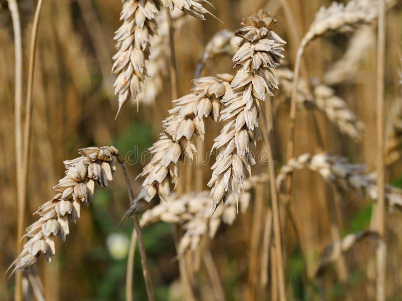 Fotografia del primo piano della spezia del grano macro immagini stock libere da diritti