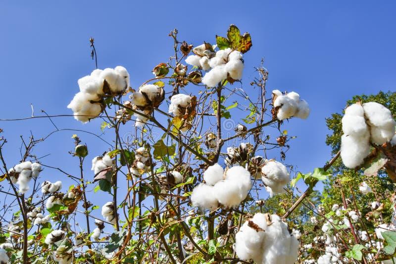Fotografia do baixo ângulo do algodão que floresce no campo fotografia de stock