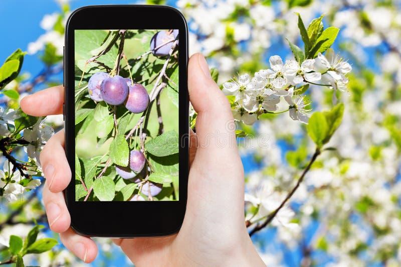 Fotografia dojrzałe śliwki na drzewie z okwitnięciami zdjęcie royalty free