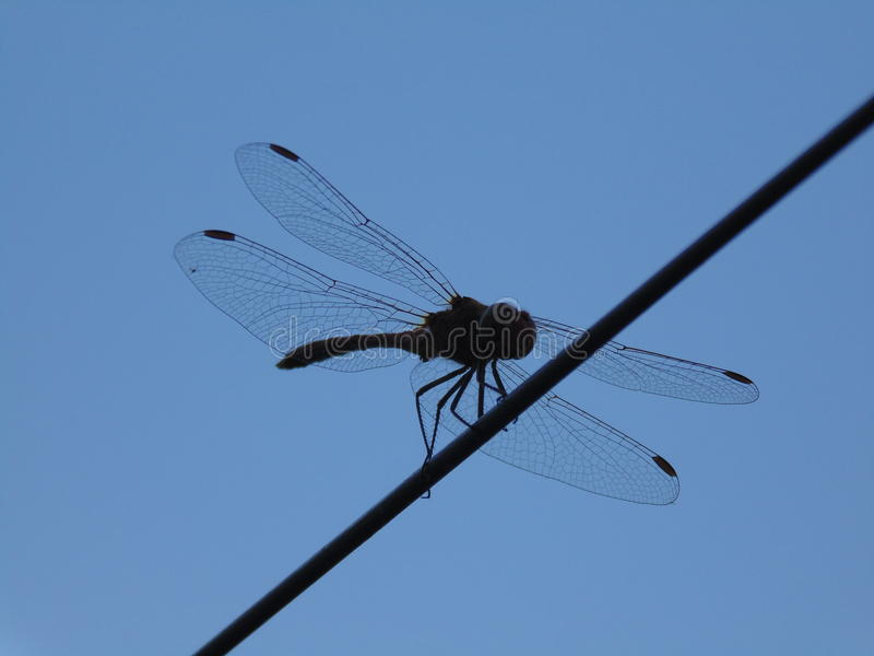 Fotografia dragonfly obraz royalty free