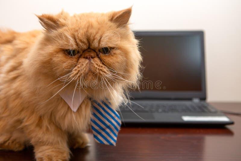 Fotografia egzotyczny kot patrzeje in camera z pasiastym krawatem, siedzi na stole z laptopem fotografia royalty free