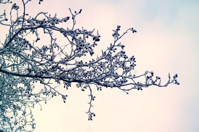 Fotografia específica da estação bonita do inverno na natureza Grande grupo de ramos e das árvores cobertas na neve e no gelo Vio fotos de stock