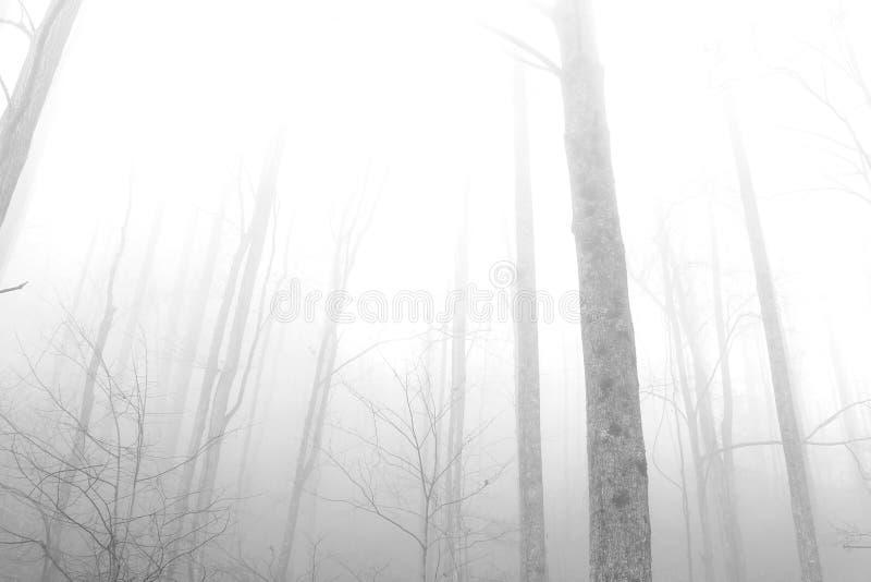 Fotografia a fondo grigio degli alberi alti nella foresta profonda del parco nazionale di Great Smoky Mountains immagini stock libere da diritti