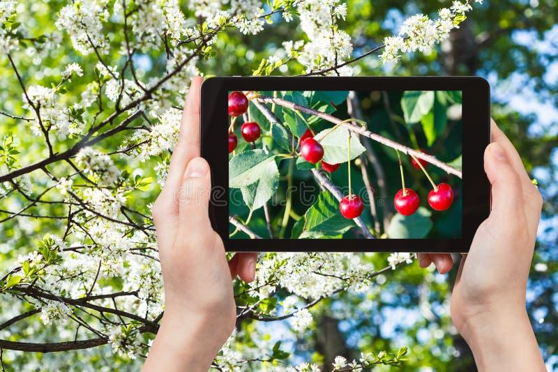 Fotografia gałązka z wiśnią na drzewie z okwitnięciami zdjęcia stock