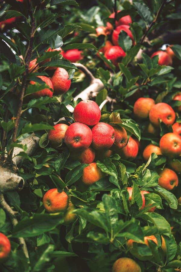 Fotografia horizontal do pomar de maçã foto de stock