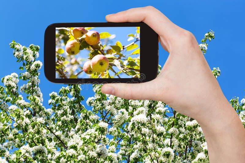 Fotografia jabłka na drzewie z okwitnięciami i niebieskim niebem obrazy royalty free
