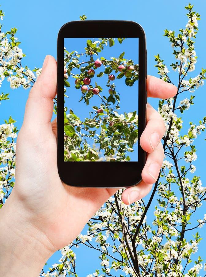 Fotografia jabłka na gałązce z okwitnięciami i niebieskim niebem zdjęcie royalty free