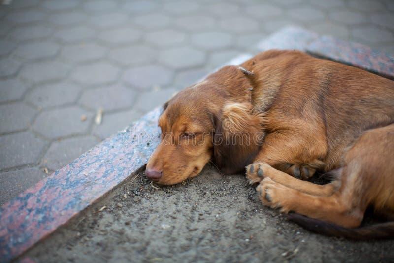 Fotografia jamnika pies w parku obrazy royalty free