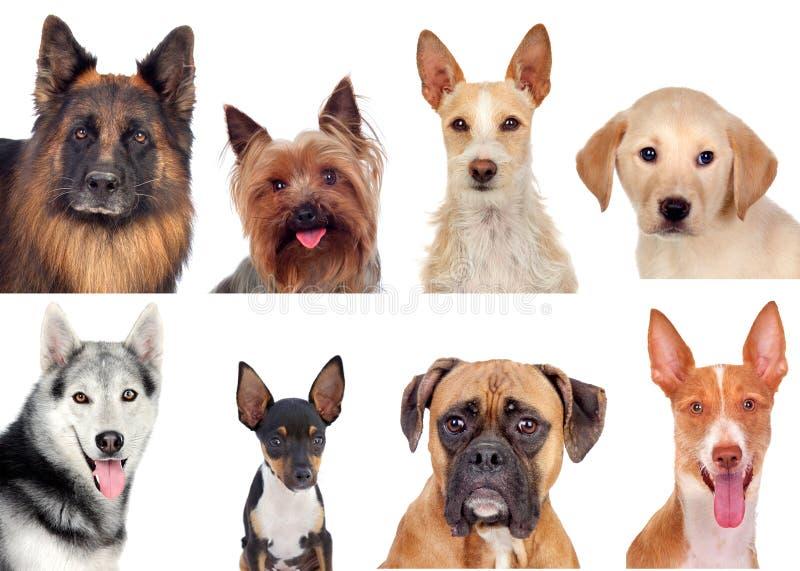 Fotografia kolaż różni trakeny psy obraz stock