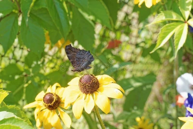 Fotografia kwiaty gelenium zakończenie z motylim obsiadaniem na kwiacie fotografia stock