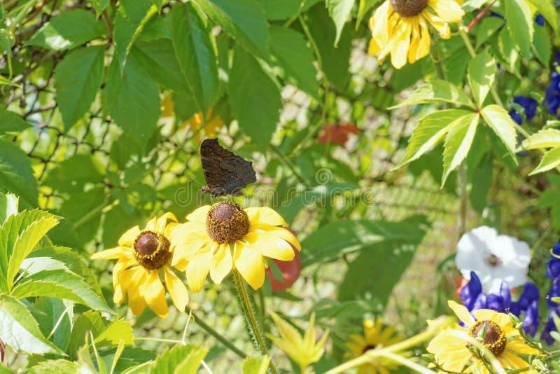 Fotografia kwiaty gelenium zakończenie z motylim obsiadaniem na kwiacie zdjęcie stock