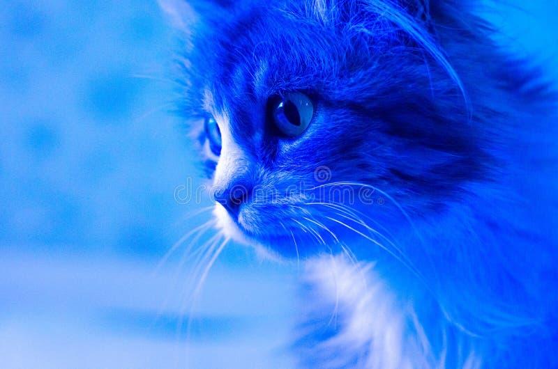 Fotografia młody kot w trendu błękitnym neonowym kolorze zdjęcia royalty free