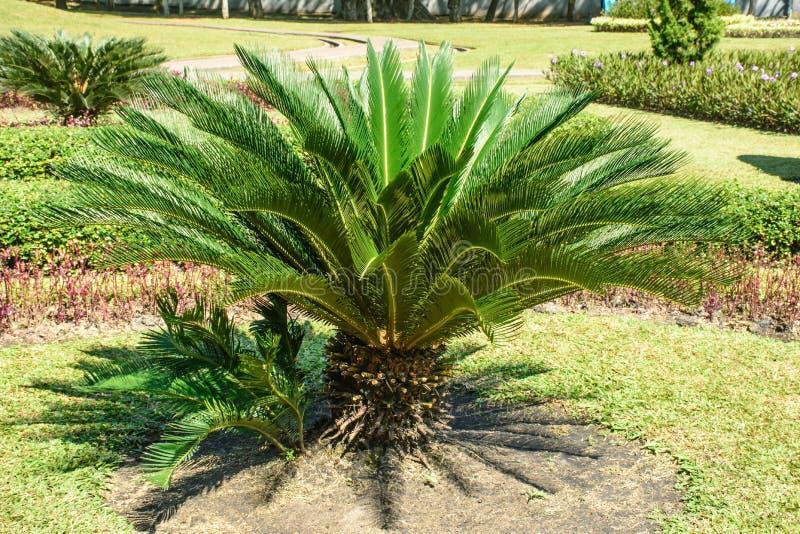 Fotografia mała sago palma obrazy royalty free