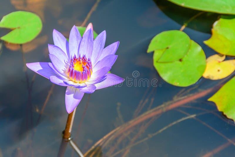 Fotografia mały lotos w jeziorze obraz stock