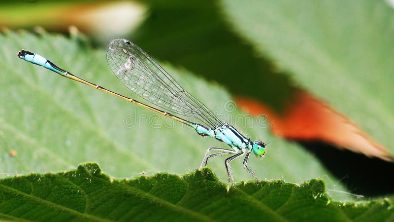Fotografia macro bonita, fino, original de uma libélula! imagem de stock