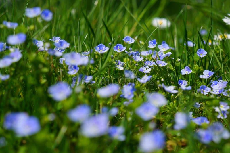 Fotografia macro das flores Petaled azuis e brancas durante o dia fotografia de stock