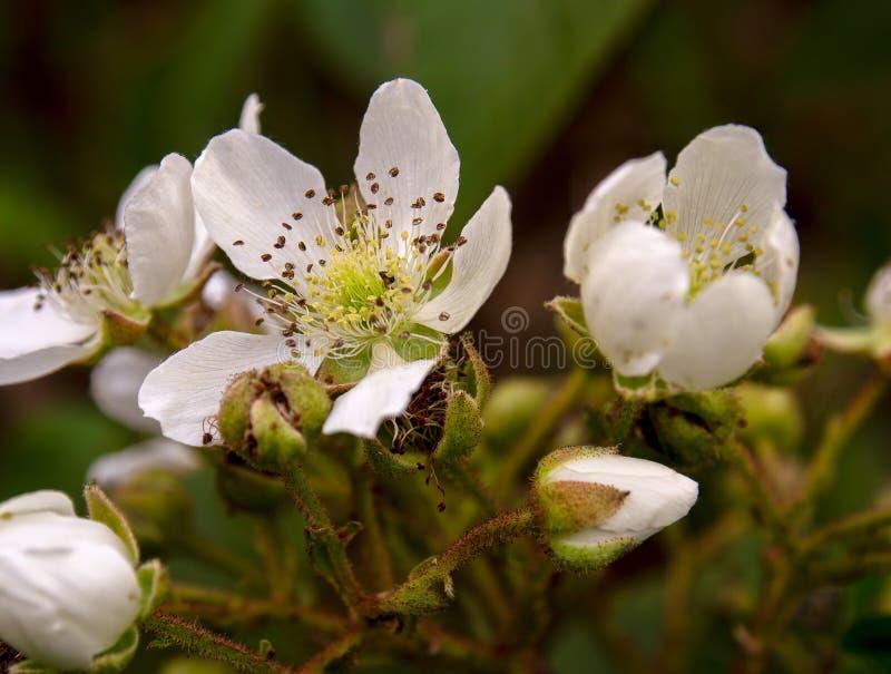 Fotografia macro de flores selvagens da amora-preta foto de stock