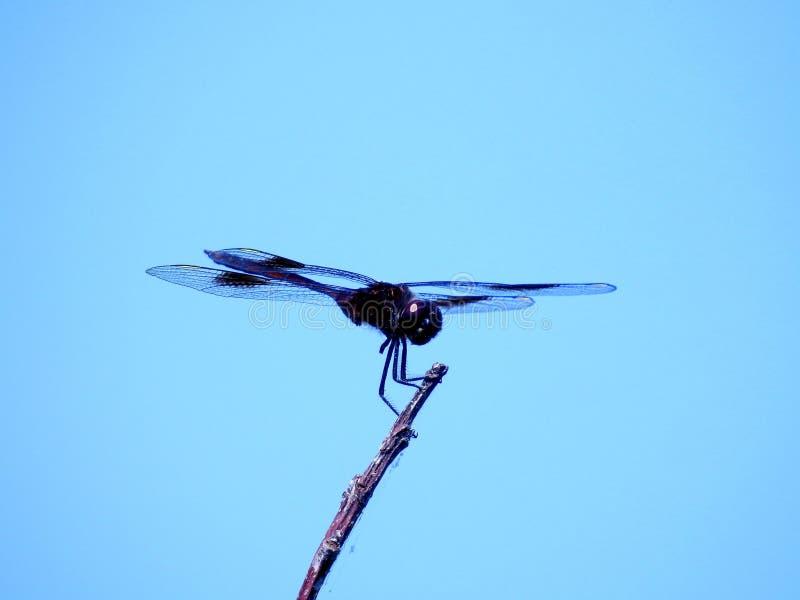 Fotografia macro de uma libélula preta num ramo de árvore sob o lindo céu azul fotografia de stock royalty free