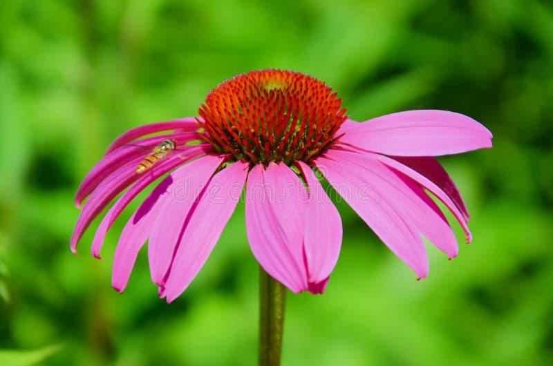 Fotografia macro do purpurea do Echinacea, do coneflower roxo oriental ou igualmente do coneflower do ouriço capturado junto com  fotos de stock royalty free