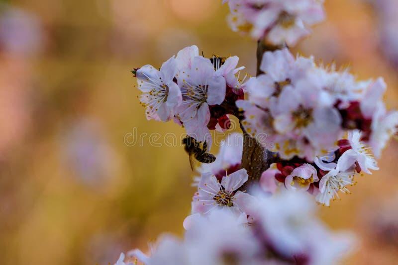 Fotografia macro do ramo do abricó da flor com as flores brancas e cor-de-rosa bonitas com pouca abelha na flor no dia de mola da foto de stock royalty free