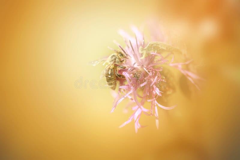 Fotografia makro- pszczoła obraz royalty free