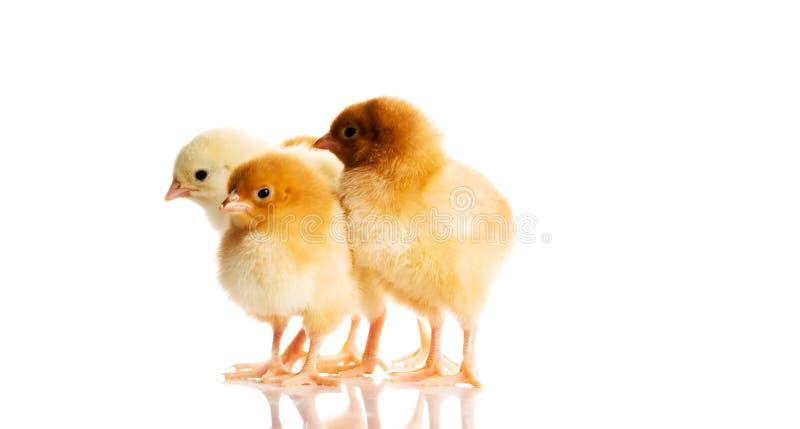 Fotografia mali śliczni kurczaki zdjęcie royalty free