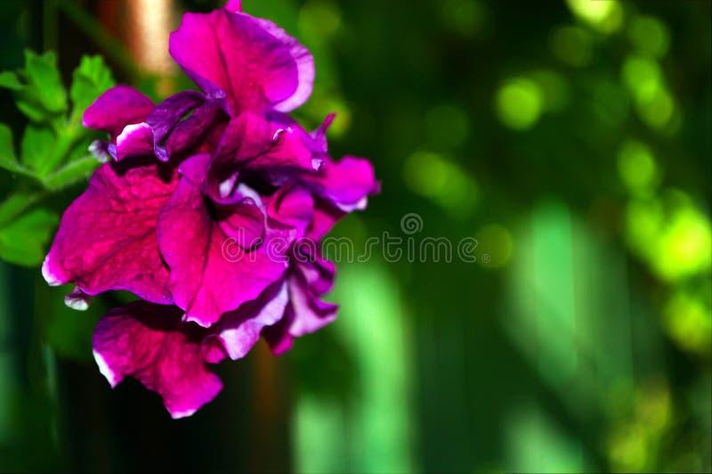 Fotografia menchia kwiat z zielonymi liśćmi zdjęcia stock