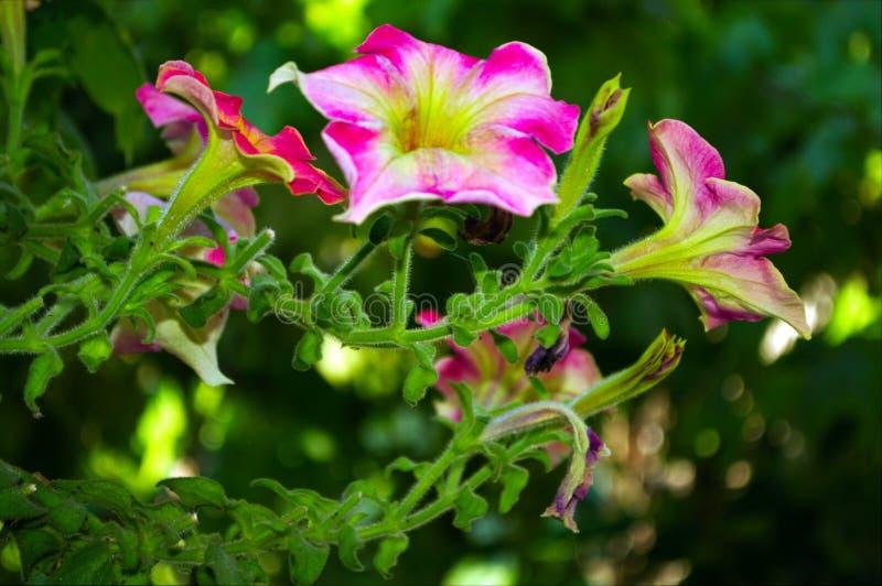 Fotografia menchia kwiat z zielonymi liśćmi fotografia stock