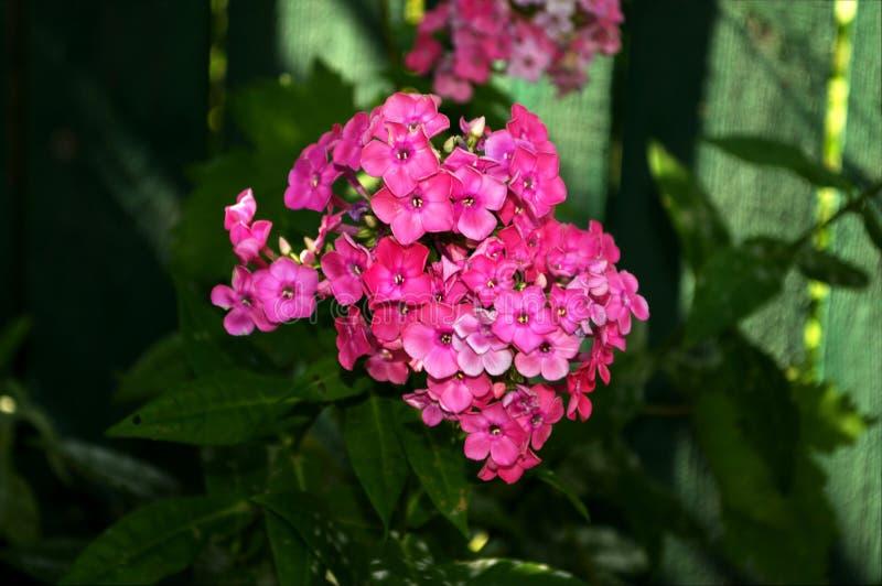 Fotografia menchia kwiat z zielonymi liśćmi zdjęcie stock