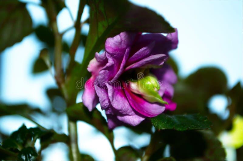 Fotografia menchia kwiat z zielonymi liśćmi obraz royalty free