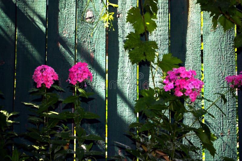 Fotografia menchia kwiaty i zieleni ogrodzenie jako tło obraz stock