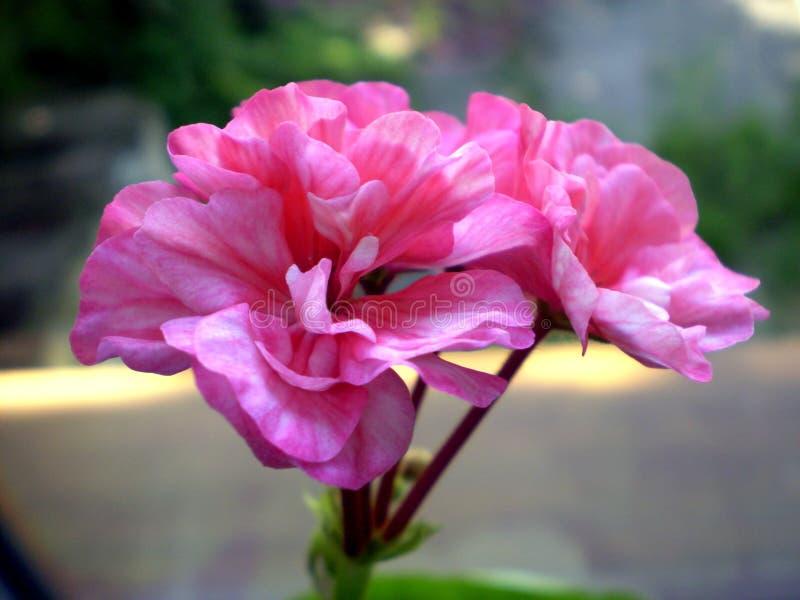 Fotografia menchie kwitnie na zamazanym tle fotografia stock