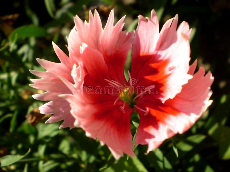 Fotografia menchie kwitnie na zamazanym zielonym tle fotografia stock