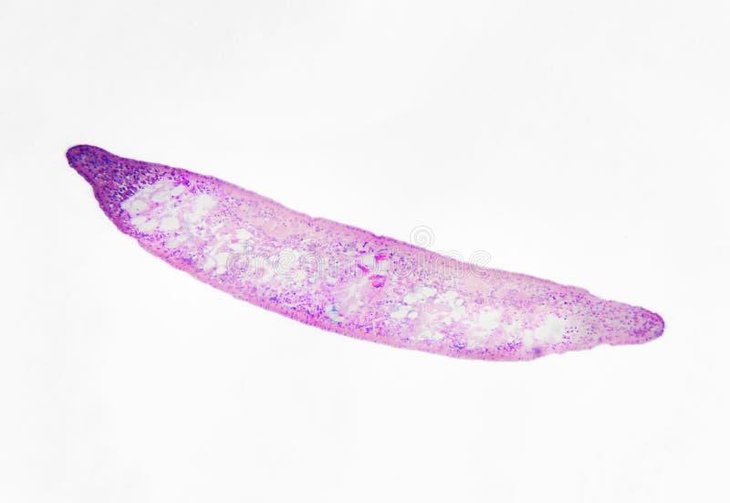 Fotografia microscópica Planaria, seção transversal fotos de stock royalty free