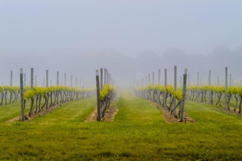Fotografia nevoenta do vinhedo foto de stock