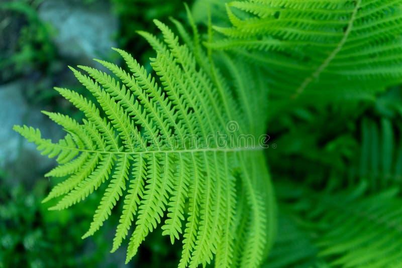 Fotografia paprociowy liść w zakończeniu w górę fotografia stock