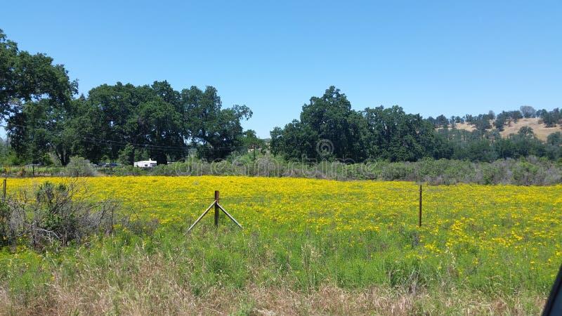 Fotografia pole żółci Dzicy kwiaty i Dębowi drzewa zdjęcie royalty free