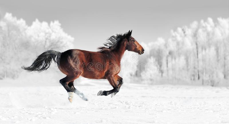 Fotografia preto e branco com cavalo da cor fotografia de stock