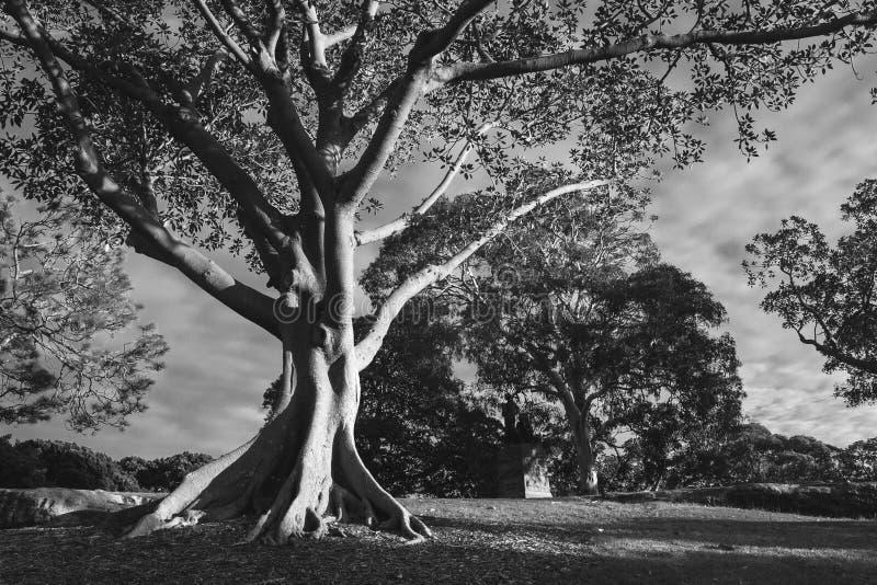 Fotografia preto e branco da árvore de goma no parkland imagem de stock