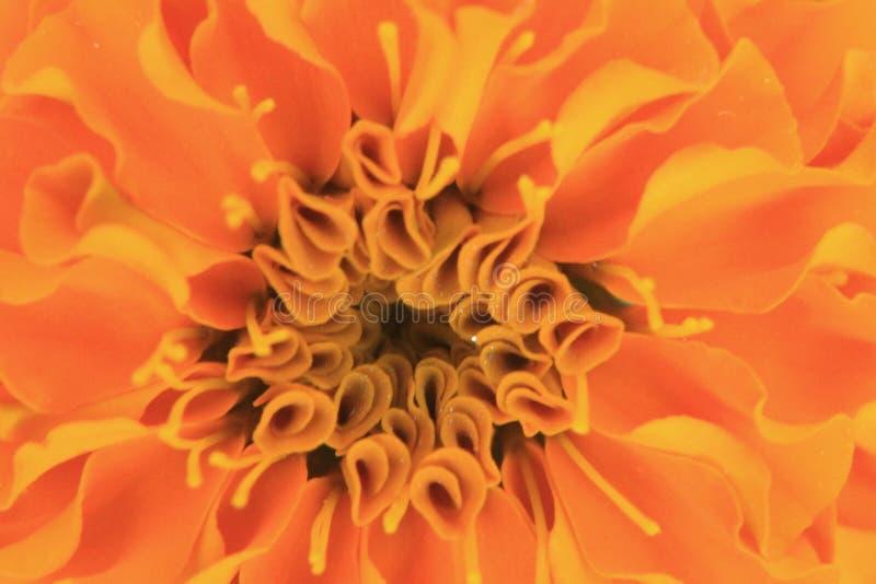 Fotografia przedstawia abstrakcjonistycznego słodkiej pomarańcze kwiatu tło od nagietka Tagetes kwiatu płatków obrazy royalty free