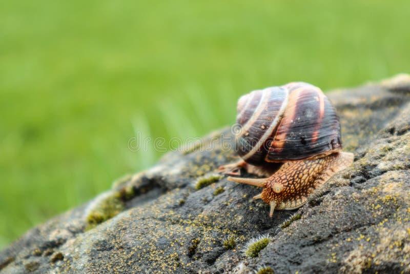 Fotografia przedstawia dzikiego dużego pięknego ślimaczka z ślimakowatą skorupą w gr obrazy stock