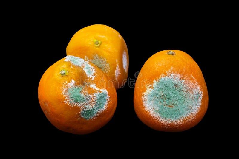 Fotografia przegniła pleśniowa pomarańcze, tangerine odizolowywający na czarnym tle Fotografia narastająca foremka Karmowy kontam obraz royalty free