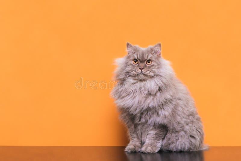 Fotografia puszysty szary kota obsiadanie na pomarańczowym tle i przyglądający w górę zdjęcie stock