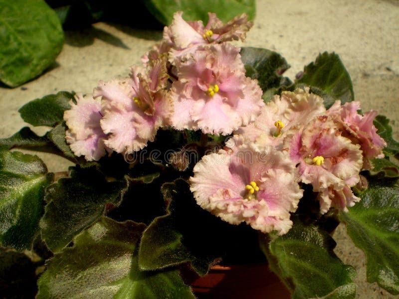 Fotografia różowy Saintpaulia kwiat z zielonymi liśćmi fotografia royalty free