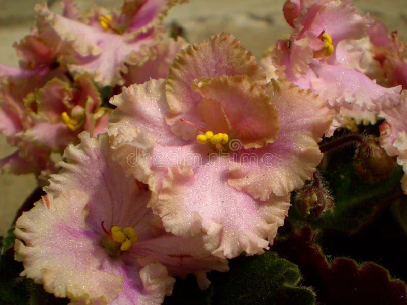 Fotografia różowy Saintpaulia kwiat z zielonymi liśćmi zdjęcie royalty free