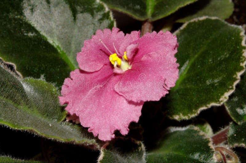 Fotografia różowy Saintpaulia kwiat z zielonymi liśćmi zdjęcia stock