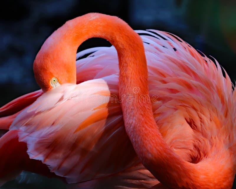Fotografia rosa di arti del fenicottero immagine stock libera da diritti