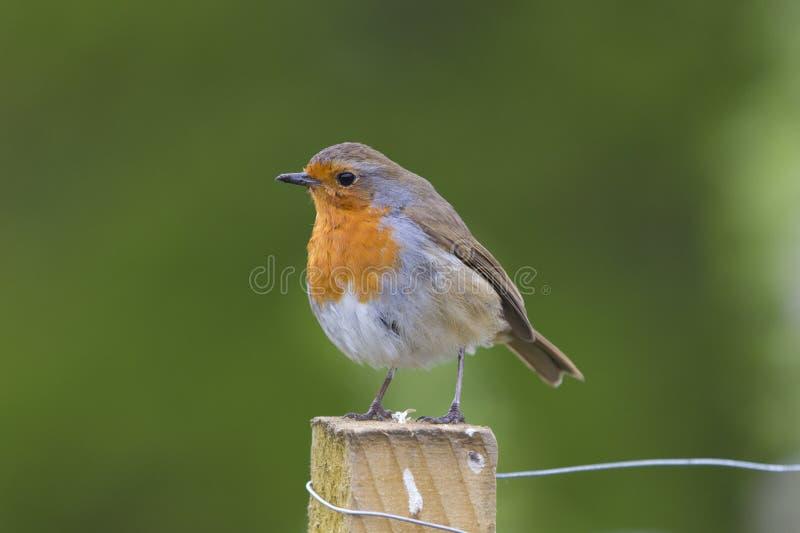Fotografia rossa del seno di Robin dell'europeo fotografie stock libere da diritti